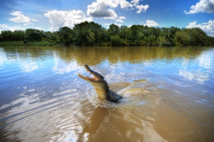Jumping crocodile in Adelaide River, Darwin