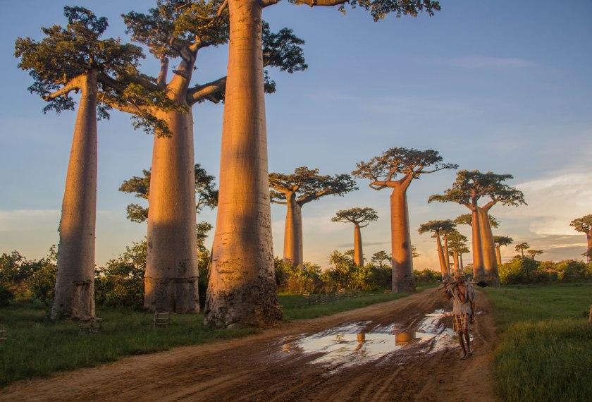 Madagascar-Trees1